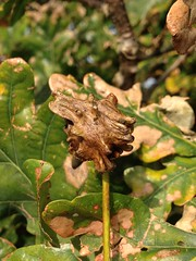 Knopper Gall. (joedobinson) Tags: andricusquercuscalicis knoppergall gallwasp gall oaktree oak bradingmarsh brading isleofwight