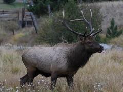 Big Bull Elk With Busted Up Antlers (fethers1) Tags: elk bullelk evergreen evergreenlake coloradowildlife