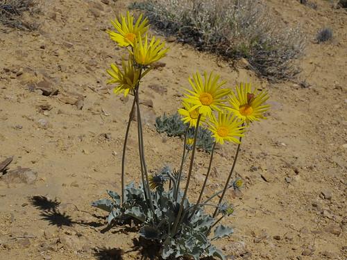 Nevada sunray, Enceliopsis nudicaulis var. nudicaulis