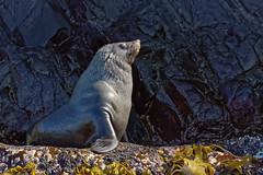 2017-03-28_C6557W_BrunyIsland_cruise_DxO_crop2 (Des (Australia)) Tags: pentax k3 pentaxda55300mmf4563plm brunyisland tasmania cruise seal australianfurseal arctocephaluspusillus mammal