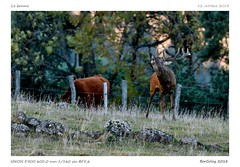 Le brame (BerColly) Tags: france auvergne cantal brame slab cerf deer biche doe foret forest bercolly google flickr