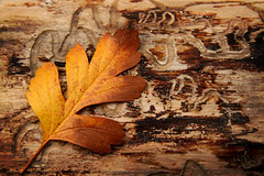 All Things Die (arbyreed) Tags: arbyreed leaf dead wood anttrails mementomori fall fallcolors