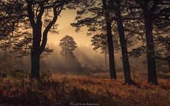 Scots Pine (Scott Robertson (Roksoff)) Tags: birch scotspine lochtulla rannochmoor glencoe bridgeoforchy scottishhighlands scotland winter autumn mist mood atmosphere trees lochan treescape dalness estate landscape outdoors nikond810 1635mmf4 leefilters 70200mmf28 gitzo