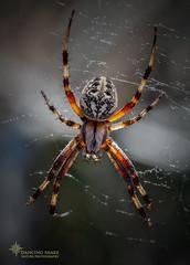 _03A3702 Orb Weaver ©Dancing Snake Nature Photography (Dancing Snake Nature Photography) Tags: arizona nature photography dancingsnakenaturephotography arachnids spider orbweaver sabinocanyon