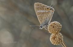 lampides boeticus (Josep M.Toset) Tags: animalia arthropoda bosc concadebarbera catalunya d500 insectes lepidòpter ropalòcer josepmtoset nikon licènid blaveta macro papallones plantes polyommatini sigma105mmf28exdgoshsm