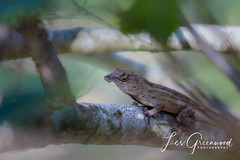 McKee-2 (Les Greenwood Photography) Tags: lizard nature wildlife tree mckee florida