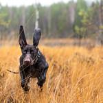 Dog running in nature thumbnail