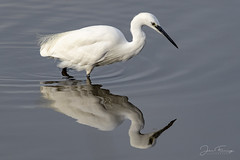 Little Egret (Mr F1) Tags: wild littleegret johnfanning wildlife fauna nature outdoors radipolerspb wetlands hunting fishing reflection white feathers bird detail water blue dorset uk europe