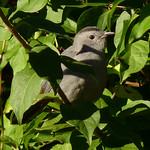 Gray Catbird thumbnail