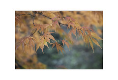 Stourhead Acer. (muddlemaker1967) Tags: close up nature photography acer leaves autumn 2018 bokeh fujifilm xt1 fujinon xf 50140mm f28 r lm ois wr lens nisi polariser