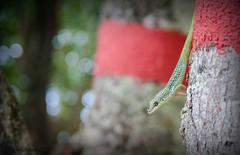 Zandoli (fabakira) Tags: fabakira fabakiraphotography fabakiraphotography2018 nikon d7000 sigma sigma1750 zandoli anolis lézard roquet wildlife faune martinique madinina caraïbes reptile regard nature nikonnature nikonphotographers nikonphotography colors