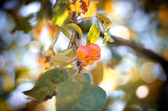 Autumn's Upon Us.. (Philip R Jones) Tags: bokeh fall autumn cherry cherrytree fruit shallowdof
