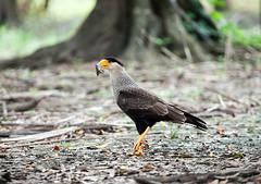 Southern Caracara (Caracara plancus) (Sergey Pisarevskiy) Tags: southerncaracara caracaraplancus birds animals bolivia southamerica birdwatching wildnature wildlife