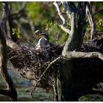 Darter nesting thumbnail
