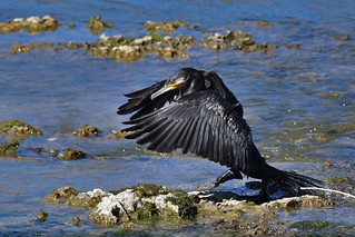 Grand cormoran -Phalacrocorax carbo - Great cormorant