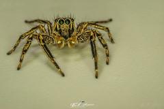 """ARANHA_SALTADORA""_SUPER_MACRO_NAMPULA_MOÇAMBIQUE (paulomarquesfotografia) Tags: paulo marques aranha saltadora super macro nampula moçambique sony a7 tubos extensão pentaxm 50mm f17 mozambique spider jumper desfoque bokeh lente invertida inverted lens insectos insects spiders aranhas detalhes details"