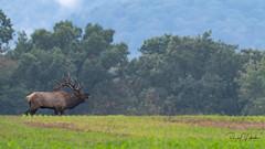 Elk of Benezette   2018 - 13 (RGL_Photography) Tags: animalkingdom animals benezette cervidae cervuscanadensis deerfamily elk elkcounty mothernature nature nikonafs600mmf4gedvr nikond5 pennsylvania reddeer us unitedstates wapiti wildkingdom wildlife wildlifephotography