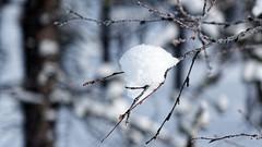 I'm still here... (Matthieu Toulemonde) Tags: snow lapland finland forest tree saariselkä sony rx10 dxo photolab white