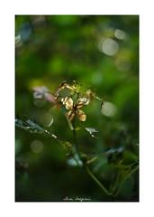 2018/8/31 - 3/9 photo by shin ikegami. - SONY ILCE‑7M2 / New Jupiter 3+ 1.5/50 L39/M (shin ikegami) Tags: macro マクロ 紫陽花 flower 花 井の頭公園 吉祥寺 summer 夏 sony ilce7m2 sonyilce7m2 a7ii 50mm lomography lomoartlens newjupiter3 tokyo sonycamera photo photographer 単焦点 iso800 ndfilter light shadow 自然 nature 玉ボケ bokeh depthoffield naturephotography art photography japan earth asia