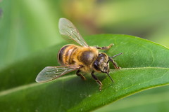 Una simple abeja. (Andres Bertens) Tags: 2913 olympusem10markii olympusomdem10markii olympusm60mmf28macro mzuikodigitaled60mmf28macro rawtherapee