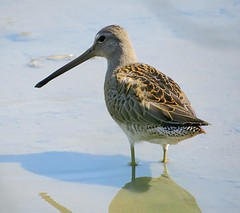 Long-billed Dowitcher (Shelley Penner) Tags: birds vancouverisland shorebirds dowitcher