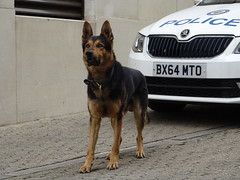 PD Gil (West Midlands Police), Birmingham City Centre. (Vinnyman1) Tags: west midlands police pd gil dog unit emergency services service rescue 999 birmingham england uk united kingdom gb great britain operation pelkin prime minister conservative party conference tory tories 2018