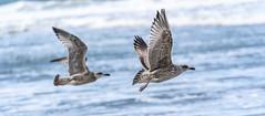 Skybird - make your Way (**capture the essential**) Tags: 2018 autumn birds elemente herbst sonya7miii sonya7mark3 sonya7iii sonyilce7m3 sylt tiere vögel wasser water