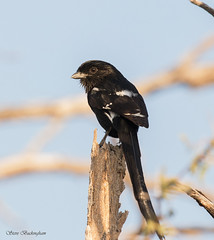 Magpie Shrike (sbuckinghamnj) Tags: shrike magpieshrike botswana africa bird
