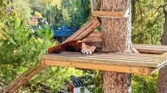 Panda Roux - 6030 (ΨᗩSᗰIᘉᗴ HᗴᘉS +23 000 000 thx) Tags: panda pandaroux nature pairidaiza green autumn hensyasmine namur belgium europa aaa namuroise look photo friends be wow yasminehens interest intersting eu fr greatphotographers lanamuroise