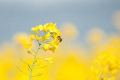 _DSC1001 (gael.lebrun56) Tags: fleur colza rape beez flower macro insect