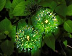Allium Remnants 2 (vern Ri) Tags: flora fleur flower fiori yellow green seed