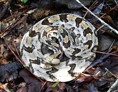 Canebrake rattlesnake (Just Back) Tags: reptile coiled quiet scales venomous head tail pits eyes gray brown gold danger serpent culebra schlange sc carolina mcbee sandhillsnationalwildliferefuge nature ilovenature biology caution