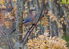 Eurasian Jay (Garrulus glandarius) (keibr) Tags: autumn birdfeeder birds blip blipfoto fall garden jay keibr