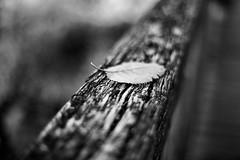colour blind (kuestenkind) Tags: autumn fall herbst schwarzweis blackwhite blackandwhite blatt geländer