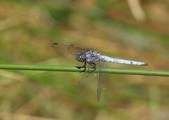 Orthetrum coerulescens. (M) (J Carrasco (mundele)) Tags: pnmonfragüe extremadura insectos odonatos anisoptera libellulidae orthetrum