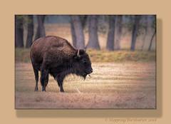 _R5A1448-Edit-Edit (StoppingTheShutter Photography) Tags: bird bison buffalo co colorado denver eagle hawk rockymountainarsenal westminster