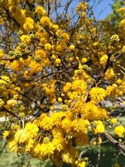 IMG_20181013_142047 (johalevin) Tags: spring primavera yellow amarillo flower flor árbol uruguay montevideo photo