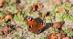it is really autumn ( 25 degrees Celsius ) (bugman11) Tags: butterfly butterflies autumn bug bugs aglaisio fauna dagpauwoog peacock insect insects canon 100mm28lmacro bokeh thenetherlands nederland haarlem macro nature animal animals leaf leaves