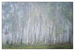 Bolehill Mist (shaunyoung365) Tags: peakdistrict mist fog trees silverbirch sonya7riii landscape