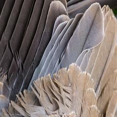 Bird Feather Abstract (Maureen Medina) Tags: maureenmedina artizenimages bird feathers closeup macro gray black tan squared abstract
