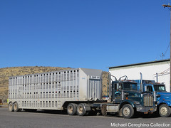 LS & D Logging Kenworth T800 with 5 Bar W Cattle trailer (Michael Cereghino (Avsfan118)) Tags: livestock cattle bull wagon bullwagon hauler cow lsd l s d and logging truck daycab kenworth kw t800 t 800 trailer semi