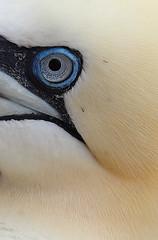 Big Blue Eye (captures.in.time) Tags: gannet scotland rspb birding bird watching birdwatching birdphotography photography wildlife nature wildlifephotography naturephonography bass rock eastlothian east lothian sea sky mist yelow blue eye portrait