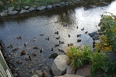 DSC01290 Ducks in Stonehaven (Fernando Sa Rapita) Tags: stonehaven scotland escocia mallards ducks patos water agua sony sonyrx100 sonydscrx100
