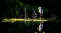 Great Blue Heron (RWGrennan) Tags: great blue heron pittsfield ma lake onota nature outdoors reflection bird green lilly pads shadow light nikon d610 massachusetts new england usa north america rwgrennan rgrennan ryan grennan water wild wildlife berkshire county tamron 150600 600mm