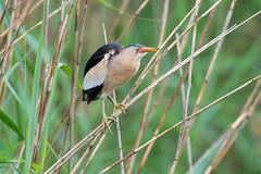 Little Bittern (CJH Natural) Tags: littlebittern zwergdommel ixobrychusminutus bittern shy pose reeds bird wader