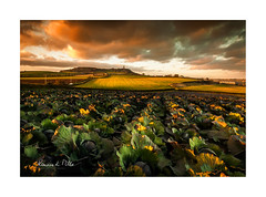 Cabbage Field Sunset (RonnieLMills 5 Million Views. Thank You All :)) Tags: cabbage field agriculture farming crop moate road newtownards scrabo tower warm evening light sunset county down northern ireland landscape photography