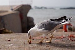Seagulls 13 (pan_orama) Tags: marokko maroc morocco essaouira beach harbour seagulls fish sun color travel