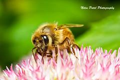 IMG_9926 (nitinpatel2) Tags: macro bee nature nitinpatel