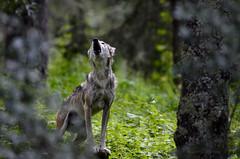 Canis lupus baileyi (Pantthera) Tags: lamichilia reserva de la biosfera michilia mexican wolf lobo mexicano canis lupus baileyi