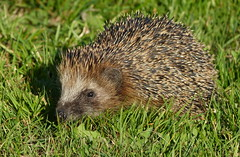Hedgehog, a young one (joeke pieters) Tags: 1430626 panasonicdmcfz150 egel hedgehog wildlife ngc npc igel